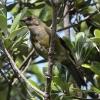 New-zealand-Day-Nineteen-Auckland-Tiritiri-Matangi-birds-1-of-9