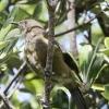 New-zealand-Day-Nineteen-Auckland-Tiritiri-Matangi-birds-2-of-9