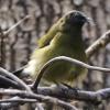 New-zealand-Day-Nineteen-Auckland-Tiritiri-Matangi-birds-4-of-31