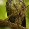 New-zealand-Day-Nineteen-Auckland-Tiritiri-Matangi-birds-5-of-31