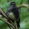 New-zealand-Day-Nineteen-Auckland-Tiritiri-Matangi-birds-5-of-9