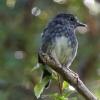 New-zealand-Day-Nineteen-Auckland-Tiritiri-Matangi-birds-6-of-9