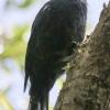 New-zealand-Day-Nineteen-Auckland-Tiritiri-Matangi-birds-7-of-31