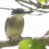 New-zealand-Day-Nineteen-Auckland-Tiritiri-Matangi-birds-7-of-9