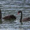 New-Zealand-Day-Seven-Glenorchy-birds-2-of-5