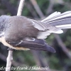 New-Zealand-Day-Seven-fantail-1-of-7