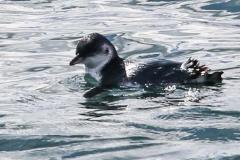 New Zealand Day Thirteen Dunedin Otago Peninsula birds February 18 2019
