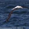New-Zealand-Day-Thirteen-Dunedin-Otaga-Peninsula-birds-12-of-36