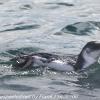 New-Zealand-Day-Thirteen-Dunedin-Otaga-Peninsula-birds-5-of-36