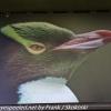 New-Zealand-Day-Thirteen-Dunedin-Otaga-Peninsula-yelow-eyed-penguins-walk-1-of-21