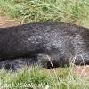 New-Zealand-Day-Thirteen-Dunedin-Otaga-Peninsula-yelow-eyed-penguins-walk-20-of-21
