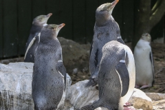 New Zealand Day Thirteen Otago Peninsula penguin hospital February 18 2019