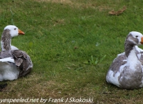 New-Zealand-Day-Twelve-Dunedin-birds-1-of-2
