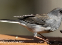 Northern junco (1 of 1).jpg