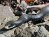 black snake -1