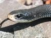 black snake -13