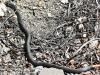 black snake -16