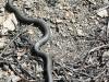 black snake -17