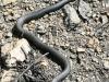 black snake -18