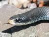 black snake -6