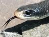 black snake -8