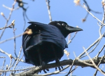 northern raven April 272016 -1