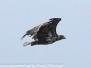 Norway Day Five Honningsvag bird safari sea eagles June 4 2018