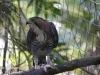 ornate hawk eagle (22 of 25).jpg