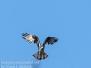Osprey PPL Wetlands April 2 2017