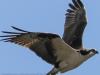 PPL wetlands osprey  2 april 28 2015 (1 of 1).jpg