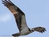 PPL wetlands osprey  3 april 28 2015 (1 of 1).jpg
