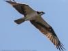PPL wetlands osprey  4  april 28 2015 (1 of 1).jpg