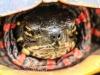 PPL Wetlands Painted turtle (1 of 1).jpg