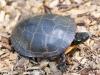 PPL Wetlands Painted turtle 8 (1 of 1).jpg