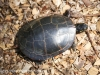 PPL Wetlands Painted turtle 9 (1 of 1).jpg