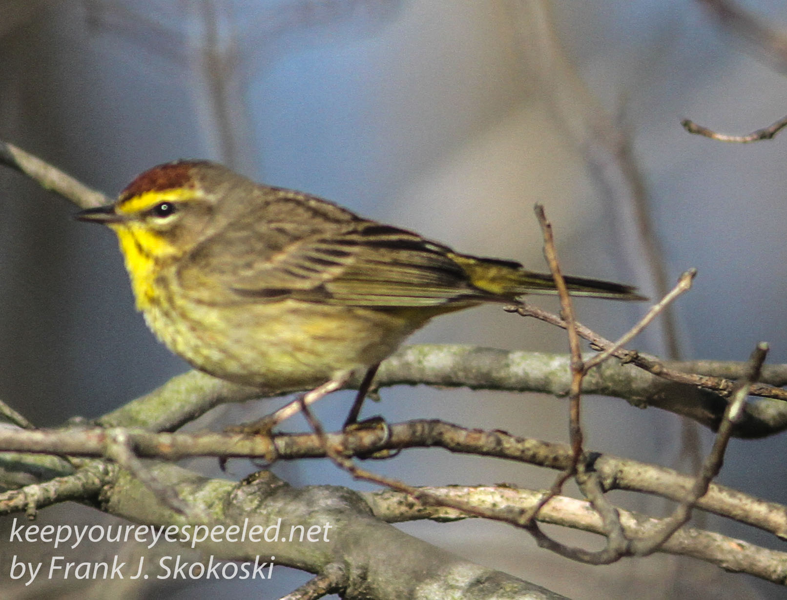 palm warbler April 272016 -1