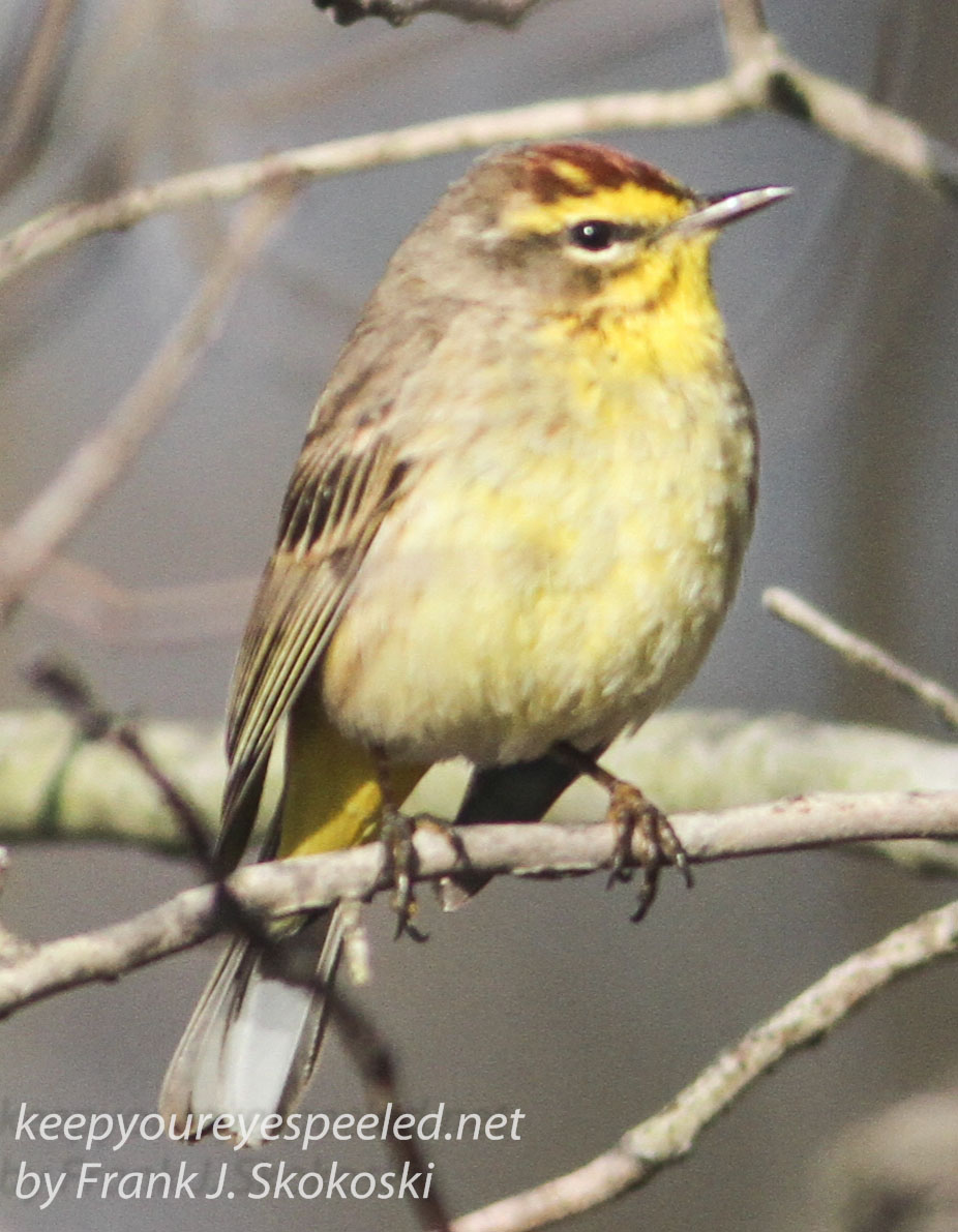 palm warbler April 272016 -5
