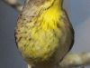 palm warbler April 272016 -2