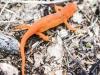 Picton wildlife sanctuary newt 2 (9 of 57).jpg