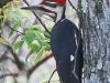 pileated woodpecker -2