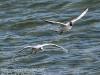 Gdansk Sopot birds-409