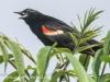 PPL Riverland June 10 2015 red winged blackbird 8 (1 of 1).jpg