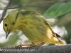 PPL Riverland June 10 2015 yellow warbler 101 (1 of 1).jpg