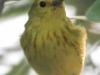 PPL Riverland June 10 2015 yellow warbler 102 (1 of 1).jpg