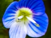 ppl wetlands blue flower- (1 of 1).jpg