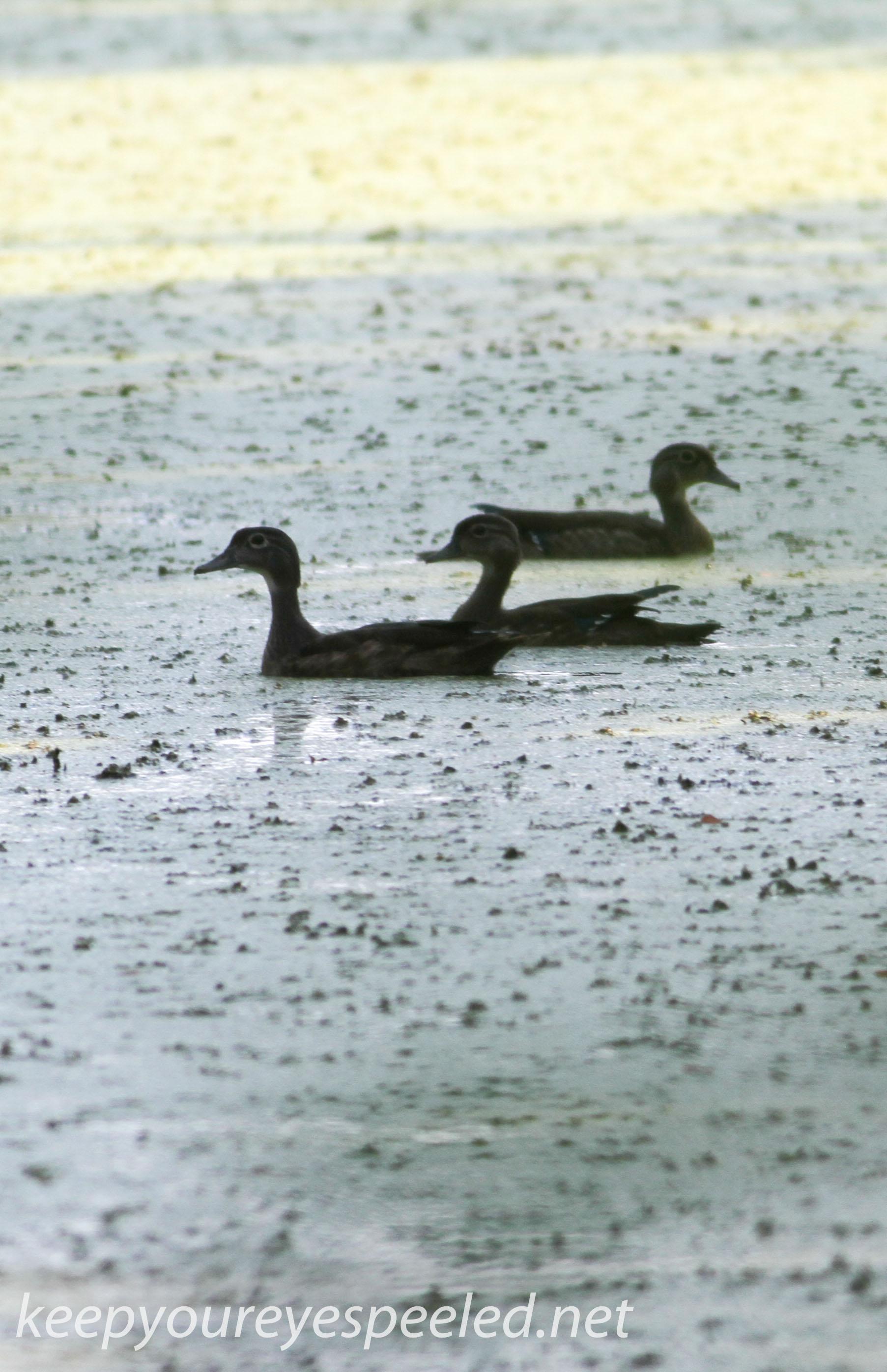 PPL  Wetlands ducks (1 of 1).jpg