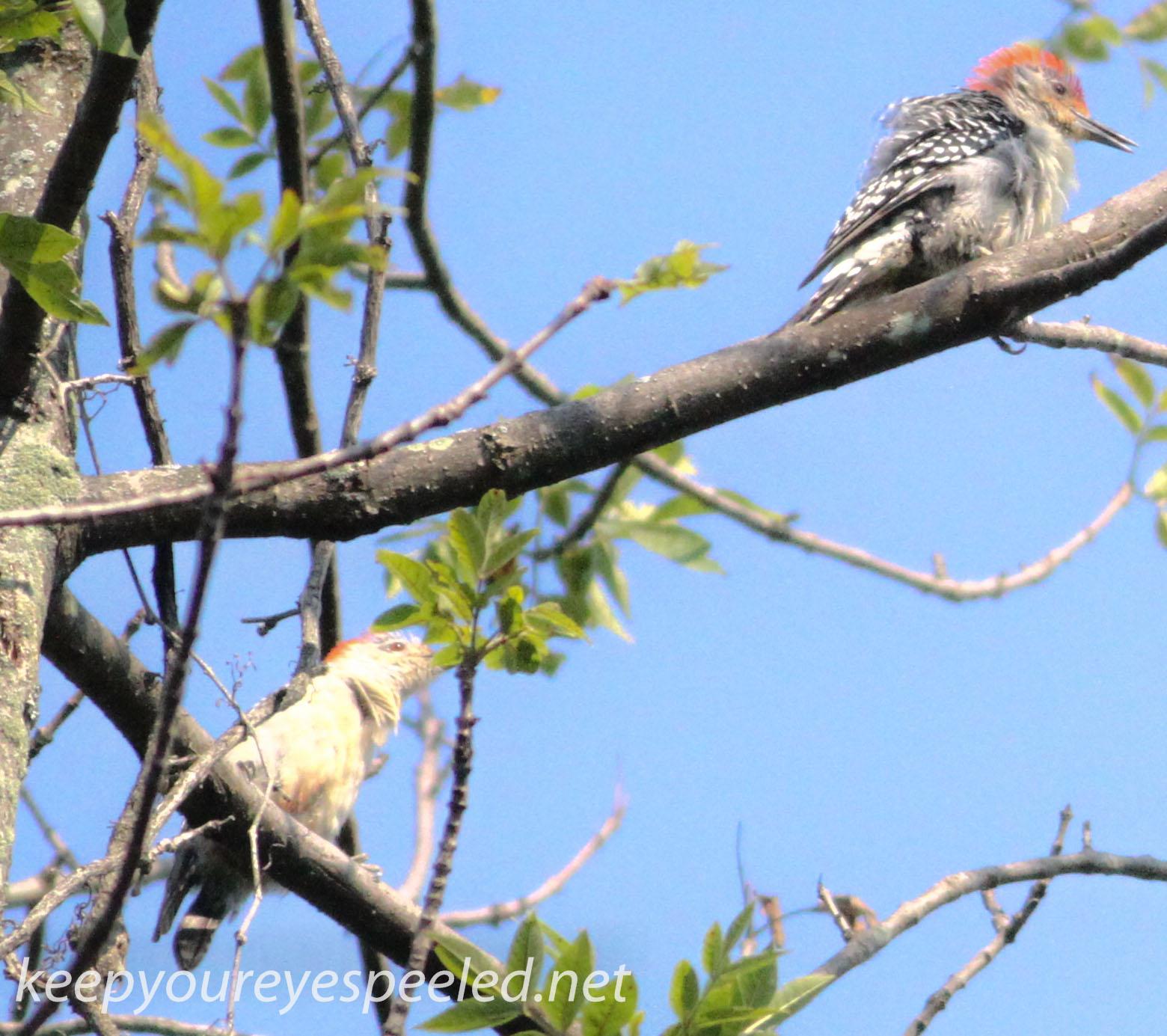 PPL  Wetlands flickers 010 (1 of 1).jpg
