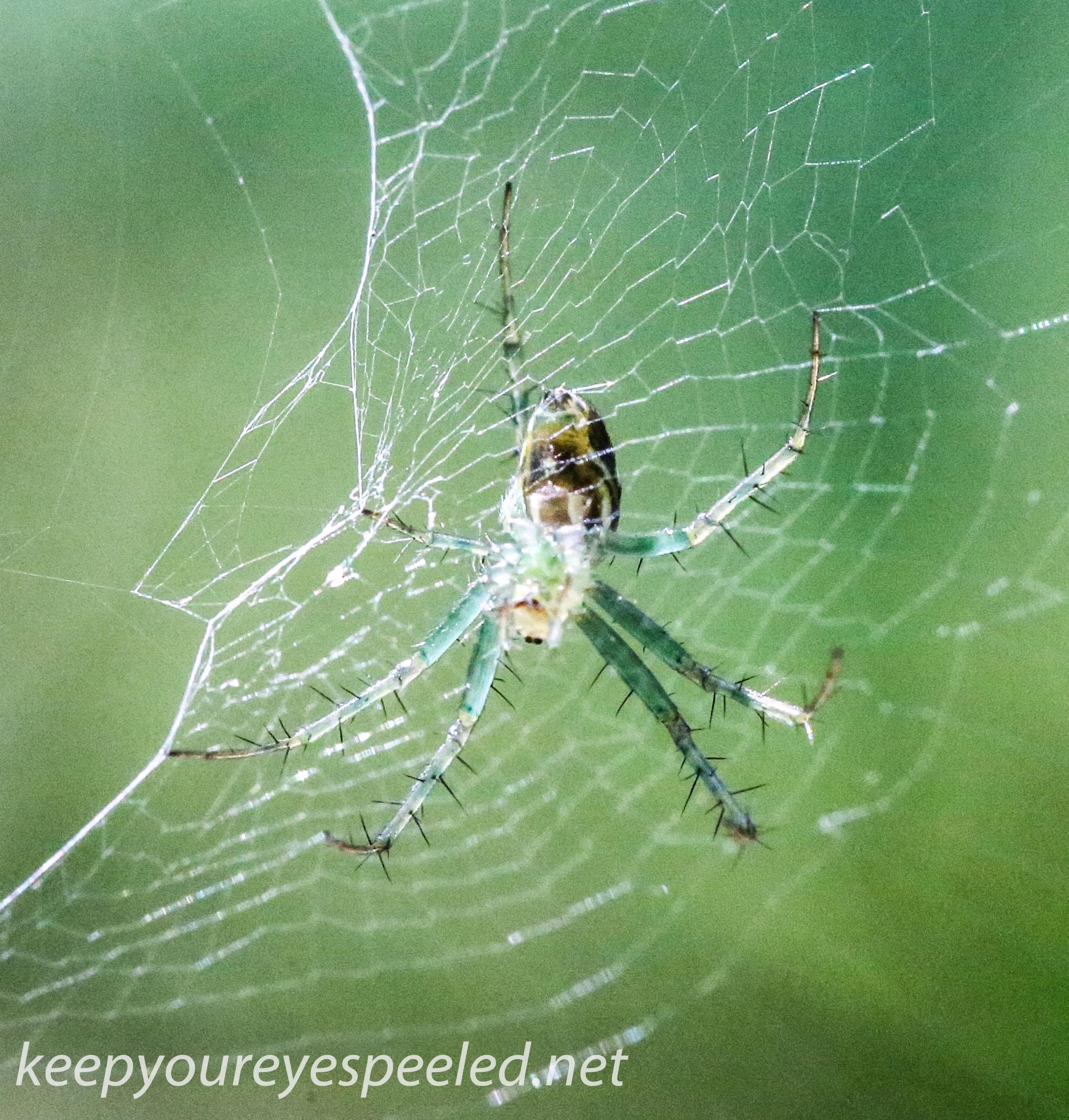 PPL Wetlands spider 30 (1 of 1).jpg