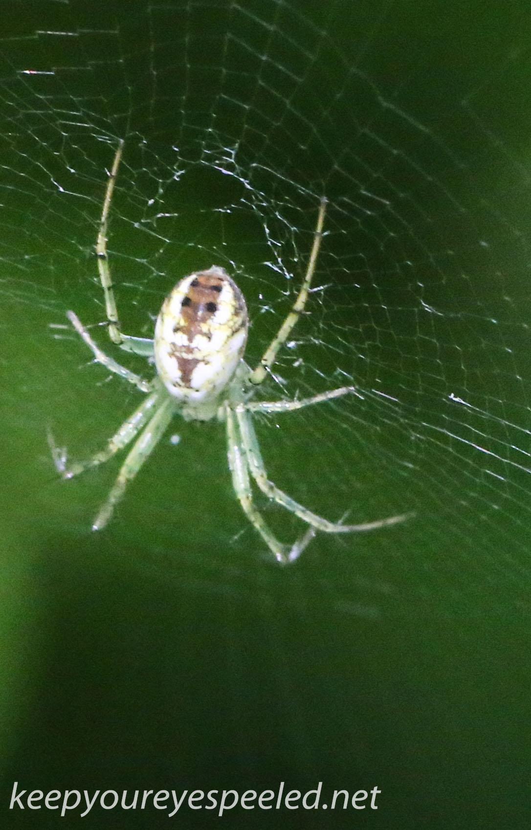 PPL Wetlands spider 36 (1 of 1).jpg