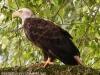 PPL Wetlands bald eagle -027